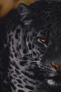 #leopard #animal #wild