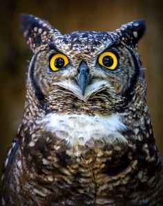 Spotted eagle-owls are common in southern African cities where they hunt rats and mice at night between buildings and in open grasslands.