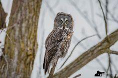 https://flic.kr/p/PBnMAL   Great Gray Owl NCO_0439   Chouette Lapone Un Lifer pour moi