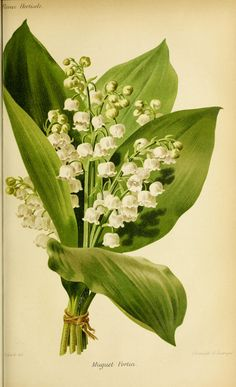 Lily of the Valley botanical illustration from http://plantgenera.org/