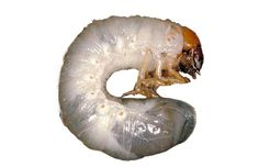 Allow me to introduce you to my friend.  The grub.  As is often the case with my friends, I'm going to have to kill him.  It was this little creature that did this to my lawn …     Grubs are larvae of different insects.  The … Continue reading →
