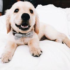 Mister Woof Loves... #puppy #bowtie