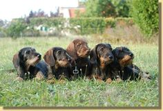 rauhaardackel - wirehaired dachshund :-)