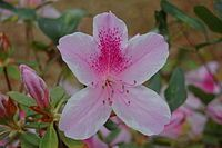 Use Azalea shrubs to attract hummingbirds! Pruning Rhododendrons, Colorful Flowers, Beautiful Flowers, Poisonous Plants, How To Attract Hummingbirds, Birth Flowers, Winter Flowers, Trees And Shrubs, Flowering Shrubs