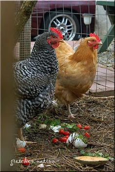 This is what my chickens will look like in a few months!  A Barred Rock and a Buff Orpington.  :)