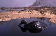 KUWAIT. 1991. Wild duck in pool of crude oil, released by burning oil wells set on fire by retreating Iraqi troops.