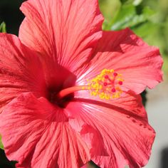Hibiscus Photo Print by LittleBrownDoogPhoto on Etsy, $10.00