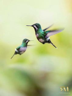 Hummingbirds by Raphael Macek