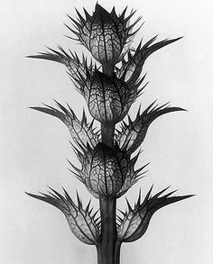The Photographer Who Magnified the Alien Beauty of Plants. Karl Blossfeldt, Acanthus mollis, bear's breeches, flowering stem with bracts, flowers removed Karl Blossfeldt, Botanical Art, Botanical Illustration, Botanical Drawings, Still Life Photography, Nature Photography, Flower Photography, Photography Website, Pattern Photography