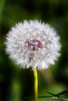 Soffione - Dandelion