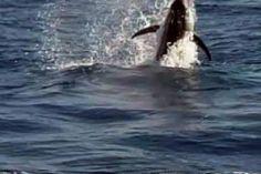 Hooked Marlin  #gulfofchiriqui