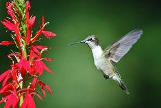 Hummingbird Flowers | Ruby-throated Hummingbird approaching Cardinal flower – August 17 ...