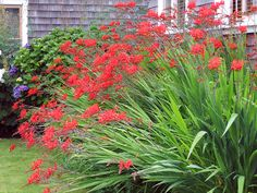Crocosmia 'Lucifer' I love this plant.  It reminds me of our vacation to Cannon Beach (which is where I first fell in love with this plant).