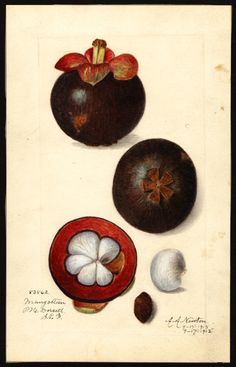 Artist:     Newton, Amanda Almira, ca. 1860-1943  Scientific name:     Garcinia mangostana  Common name:     mangosteens  Physical description:     1 art original : col. ; 16 x 24 cm.  Specimen:     83862  Year:     1915  Notes on original:     S.P.I.  Date created:     1915-09-17