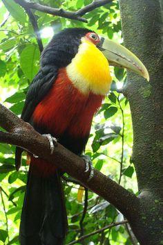 Tucano - Parque das Aves - Foz do Iguaçu - Brasil
