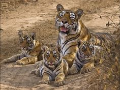 A wild tigress, Machli, and her three cubs relax in the shade at Ranthambore National Park; Aditya Singh, NGC