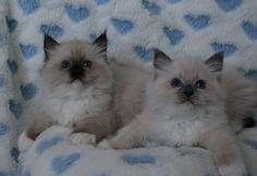 Ragdoll Rockcreek Nichole Kidman kittens