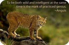 Animal symbolism and Symbolic meaning of the Bobcat