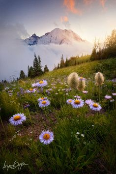 Summer Sunset and Wildflowers, Mount Rainier National Park, Washington