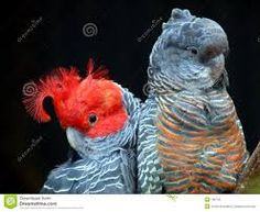 Gang gang cockatoo (male- left red head : female-right all grey)