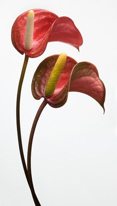 Anthurium by Barry Seidman Tropical Flowers, Exotic Flowers, Vintage Flowers, Beautiful Flowers, Flamingo Flower, Floral Photography, Plant Species, Botanical Prints, Flower Art
