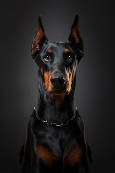 Orpheus by Lényfotó on 500px/ beautiful Doberman!