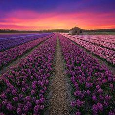 Flowers field in Netherlands.  #Flowers #field #Flowersfield #Netherlands #AlbertDros #instafollow #l4l #likeforlike #like4like #tagforlikes #followback #love #instagood