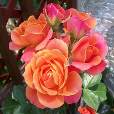The offcial rose of the Disneyland® Resort - a joyous parade of bright, whimsical blooms.