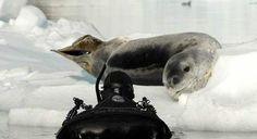 Shimmering ice walls, penguins, leopard seals and shipwrecks - this is what you can experience while polar snorkelling. Discover Antarctica in a completely new dimension during our Scotia Sea Springtime or Spirit of Antarctica expeditions. http://www.auroraexpeditions.com.au/pages/brochurelandingpage/2370  #Antarctica #snorkelling #bucketlist #travel #AuroraExpeditions