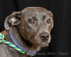 Petango.com – Meet Piper, a 2 years 3 months Terrier, Pit Bull / Mix available for adoption in Dekalb, IL