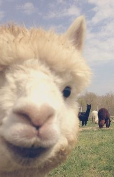 This photobombing alpaca is here to improve your photography.
