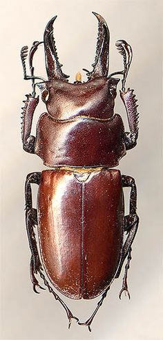 Prismognathus subaeneus, male