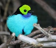 Paradise Tanager (Tangara chilensis) Tanagers are small to medium-sized birds. The shortest-bodied species, the White-eared Conebill, is 9 cm (3.8 in) long and weighs 7 grams. The longest, the Magpie Tanager is 28 cm (11 in) and weighs 76 grams (2.7 oz). The heaviest is the White-capped Tanager which weighs 114 grams (4 oz) and measures about 24 cm (9.5 in). Both sexes are usually the same size and weight. Birds in their first year are often duller or a different color altogether.