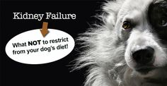 Canine diet for kidney failure: Find out the one thing your dog should NOT be without in his food when dealing with kidney disease or kidney failure. Dog Kidney Disease Diet, Chronic Kidney Disease, Kidney Failure, Kidney Detox, Kidney Health, Pet Health, Health Tips, Dog Illnesses, Kidney Recipes