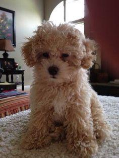 Teacup Teddy Bear Maltipoo Puppies ♥ ♥ for Sale in La