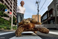 Bon-chan, a 19 year old male African spurred tortoise weighing about 70 kg (154 pounds), walking w/ his owner Hisao Mitani on a street in the town of Tsukishima in Tokyo. 10 June 2015. AFP PHOTO / KAZUHIRO NOGI || video: (1) https://www.youtube.com/watch?v=LiMIvKMYzIw (2) http://www.bbc.com/news/world-asia-33164705