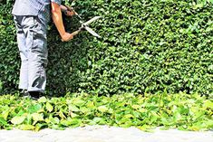 How to Trim Hedges: Pruning is vital for maintaining a hedge. Consistency is key, but timing, skills, frequency are also important. See How to Trim Hedges. Privacy Hedges Fast Growing, Fast Growing Shrubs, Fast Growing Evergreens, Evergreen Trees For Privacy, Evergreen Hedge, Green Giant Arborvitae, Emerald Green Arborvitae, Hedging Plants, Privacy Plants