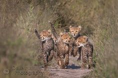 Cheetah cubs playing at Chitabe camp in Botswana Baby Animals Pictures, Funny Animals, Cute Animals, Beautiful Cats, Animals Beautiful, Baby Animals Super Cute, Cheetah Cubs, Cat Toilet Training, Funny Cat Photos