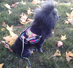 Toy dog harnesses available at http://www.mightymitedoggear.com