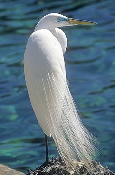Great American Egret, Florida | Gail Melville Shumway Photography