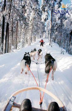 Husky Safari. Lapland, Finland. http://thenomadlab.com/post/12202692759/huskysafari #Finland