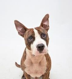 07/08/2016 Adopt dog Newbie, a smart calm dog, 4 years 9 months Terrier, American Pit Bull / Mix in DECATUR, GA.