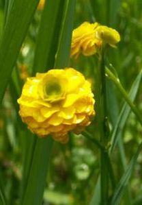 103 best my utah flower garden images on pinterest flower my utah garden says creeping double buttercup this flower grows by the pond in the backyard it is suppose to be in full sun to partial but mine is in mightylinksfo