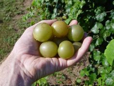 WHITE TAME GIANT SCUPPERNONG/MUSCADINE GRAPE