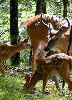 Whitetail Buck and fawns