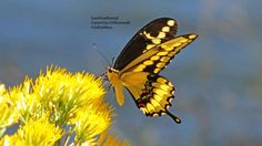 Giant Swallowtail, a stunning butterfly