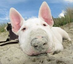 Bull Terrier at the beach