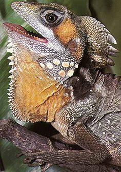 rainforest dragon
