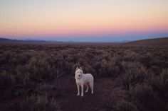 "John & Wolf - Middle of Nevada on the ""the loneliest road in. Color Games, Dog Travel, White Wolf, Werewolf, Retro, Nature Photos, Beautiful Places, Lovely Things, Animales"
