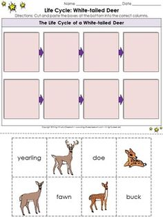 White-tailed Deer Life Cycle Sort Cut and Paste Activity #2 - King Virtue's Classroom  Students will love applying what you've taught them about life cycles! This cut and paste sorting activity will help them review the life cycle of a white-tailed deer (doe, fawn, yearling, and buck). Fun and engaging!